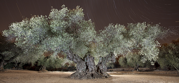 The Sinfo Olive Tree, voted Best Monumental Olive Tree in the Mediterranean