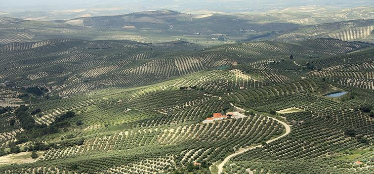 El olivar español, ejemplo de cultivo sostenible
