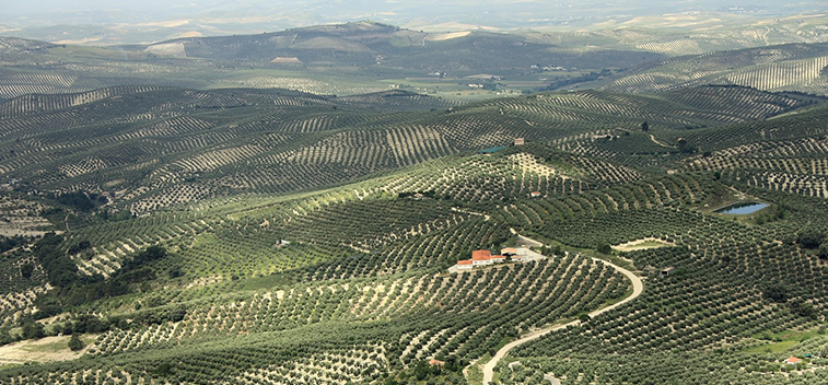 The Spanish olive grove, an example of sustainable cultivation