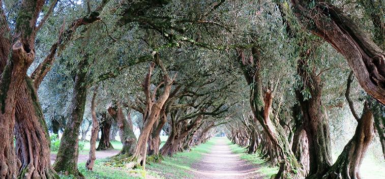 El COI y la UCO buscan variedades de olivo resistentes a enfermedades