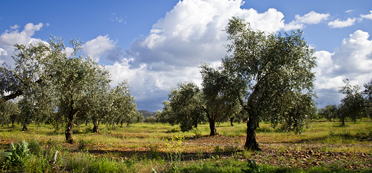European olive oil production stands at 1.7 million tonnes until January