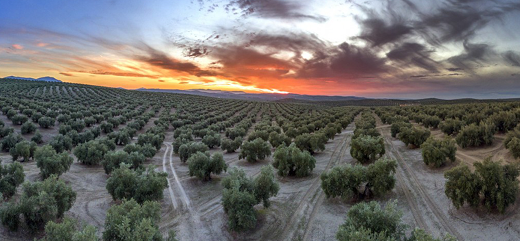 The final figures of the olive sector 2019/20 campaign