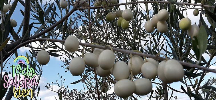 Un estudio revela las propiedades nutricionales del aceite de los olivos silvestres