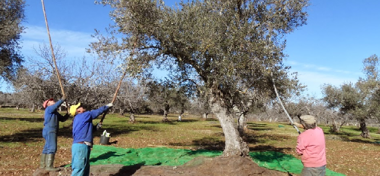 Spain is the largest producer of olive oil in the world in 2021